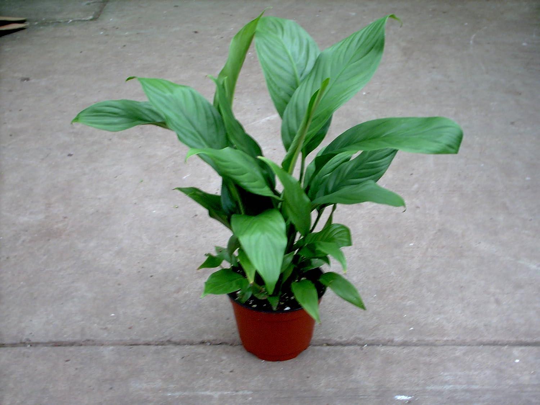 Amazon spathiphyllum peace lily 6 pot x 24 tall garden amazon spathiphyllum peace lily 6 pot x 24 tall garden outdoor izmirmasajfo