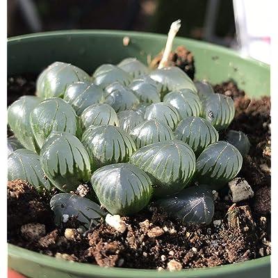 AchmadAnam - Live Plant - Root-Haworthia cooperi VAR. truncata obtusa Live Plant Succulent Rare : Garden & Outdoor