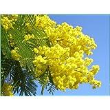 Acacia dealbata - mimosa - Mimosa dei Fiorai semi freschi