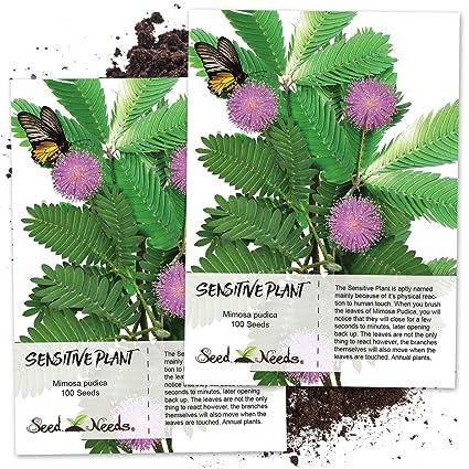 Amazon com : Seed Needs, Sensitive Plant (Mimosa Pudica