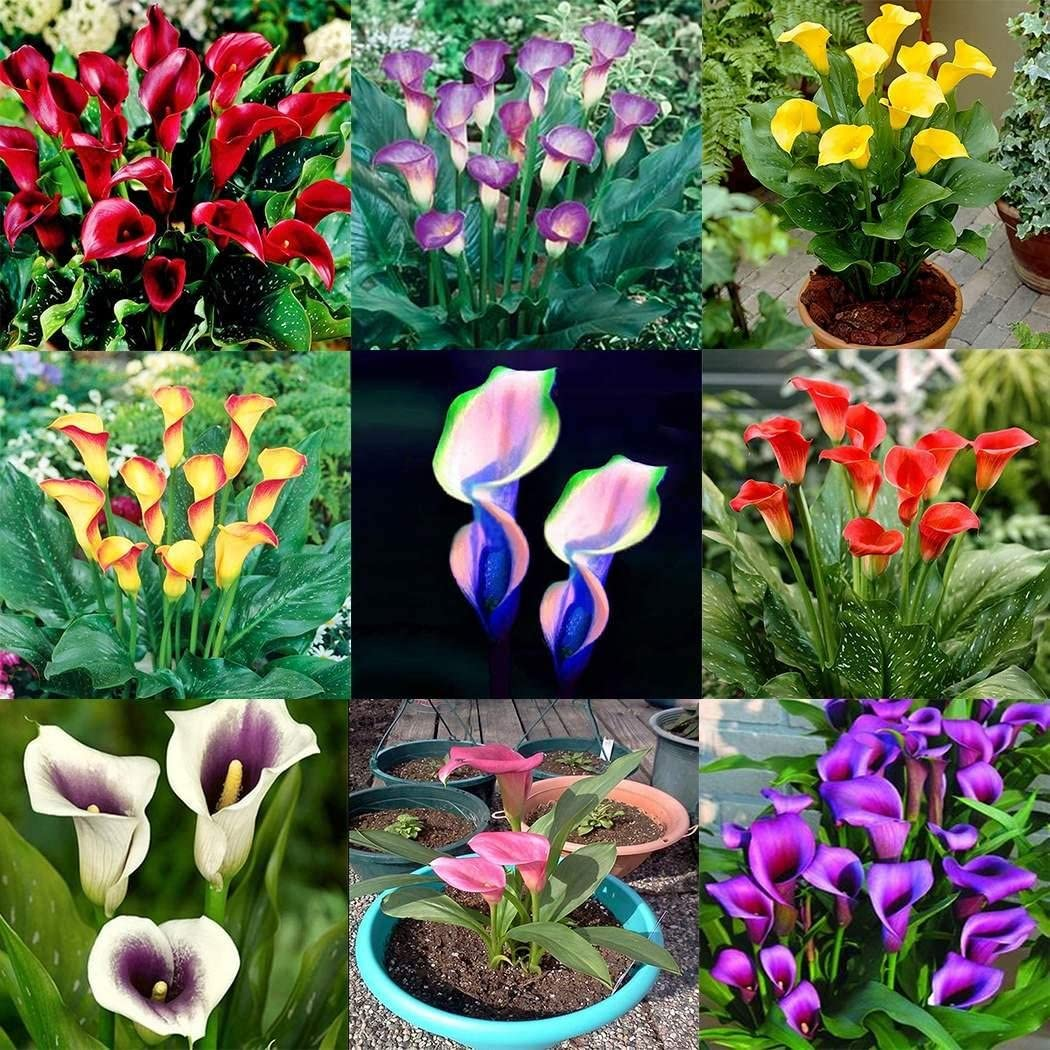 Beautytalk Seeds Garden 100pcsCalla pasja Zantedeschia Calla Seeds Colorful Exotic Flower Seeds Seed Rarities Flowers Hardy Perennial Bonsai Potted Plant for Balcony