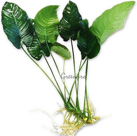 Amazon.com: Anubias Barteri grande | Broad Leaf Live Acuario ...