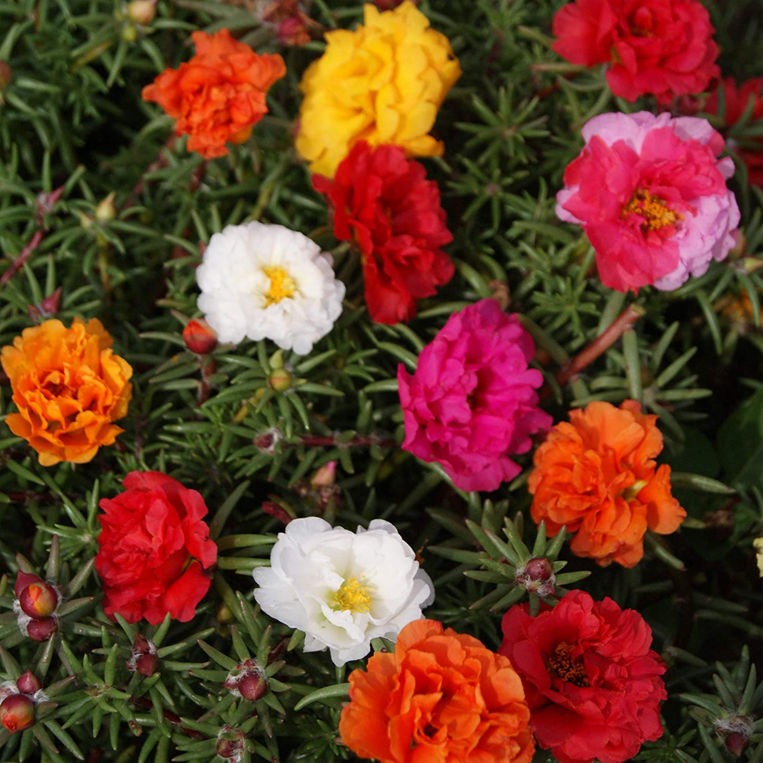 Amazon Com Outsidepride Moss Rose Plant Seed Mix 5000 Seeds