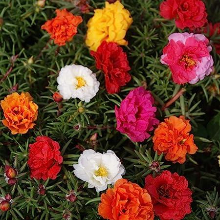 Amazon Com Outsidepride Moss Rose Plant Seed Mix 5000 Seeds