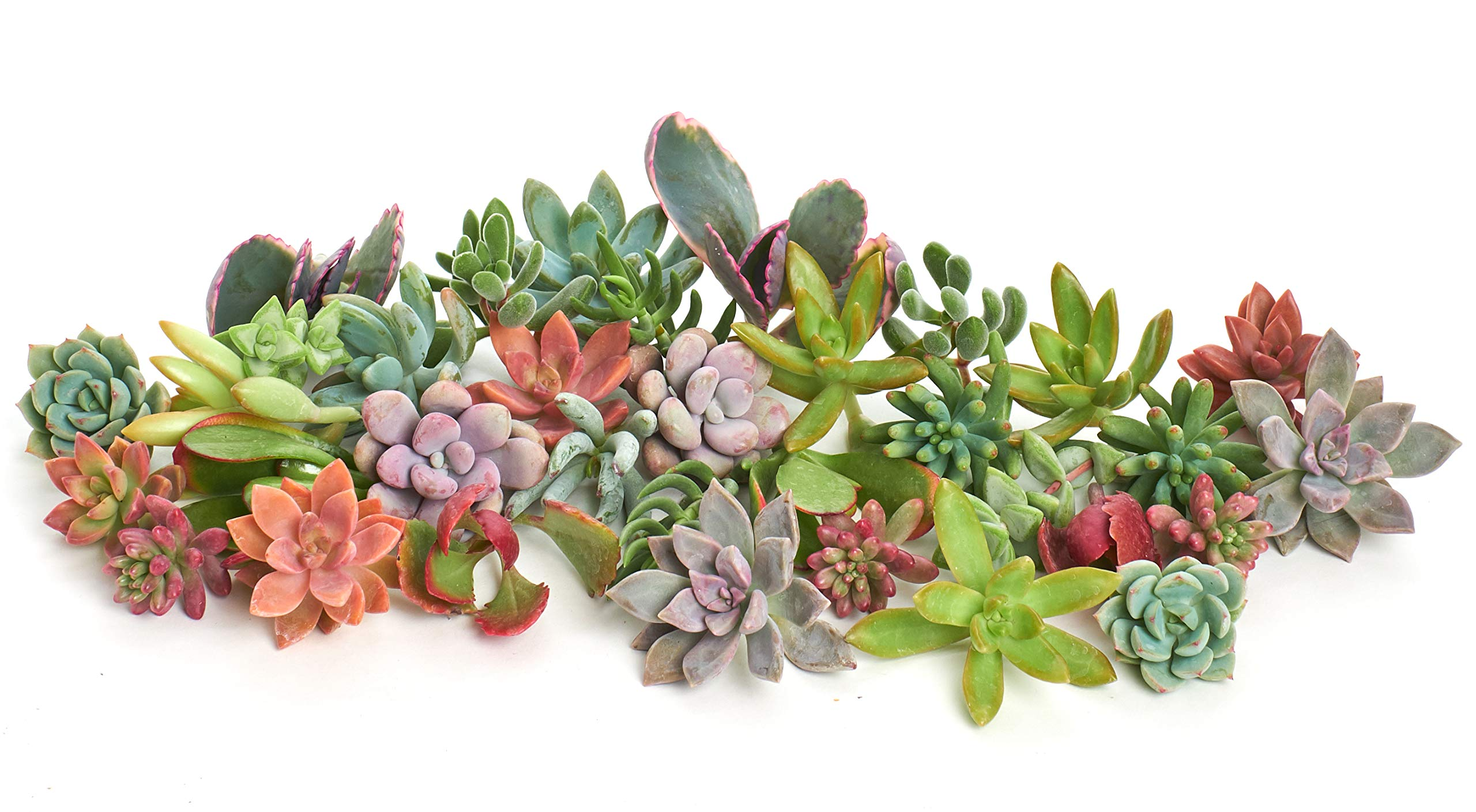 Shop Succulents| Assorted Collection of Live Succulent Cuttings, Hand Selected Variety Pack of Cut Succulents| Collection of 75