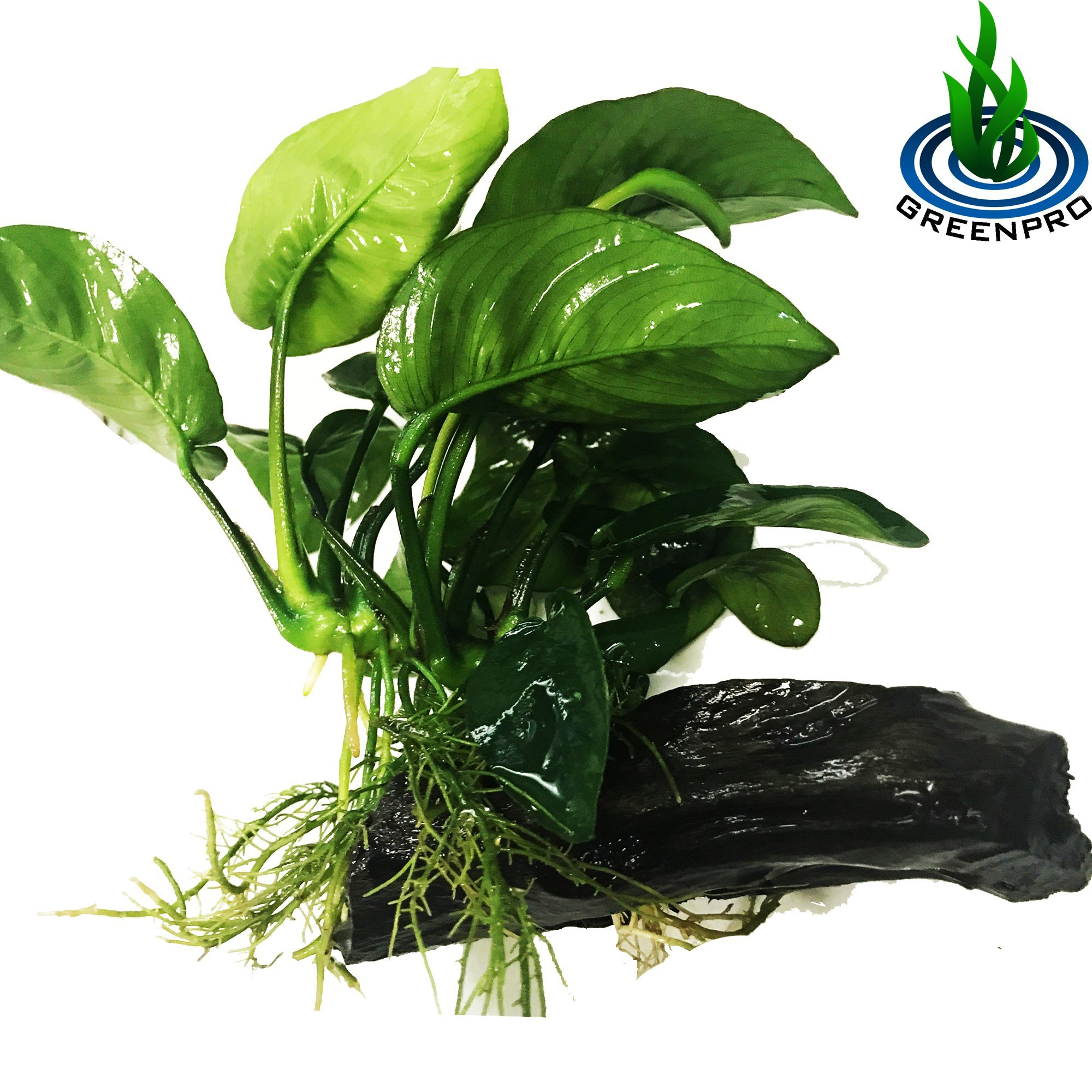 Greenpro (Anubias Barteri Butterfly) Anubias, Java Fern, Moss and More! Freshwater Live Aquarium Plants on Driftwood for Aquatic Tropical Fish Tank Decorations - Easy to Drop by Greenpro