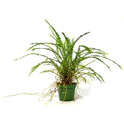 "9GreenBox - Lemon Button Fern 4"" Pot - Nephrolepis cordifolia Duffii : Garden & Outdoor"