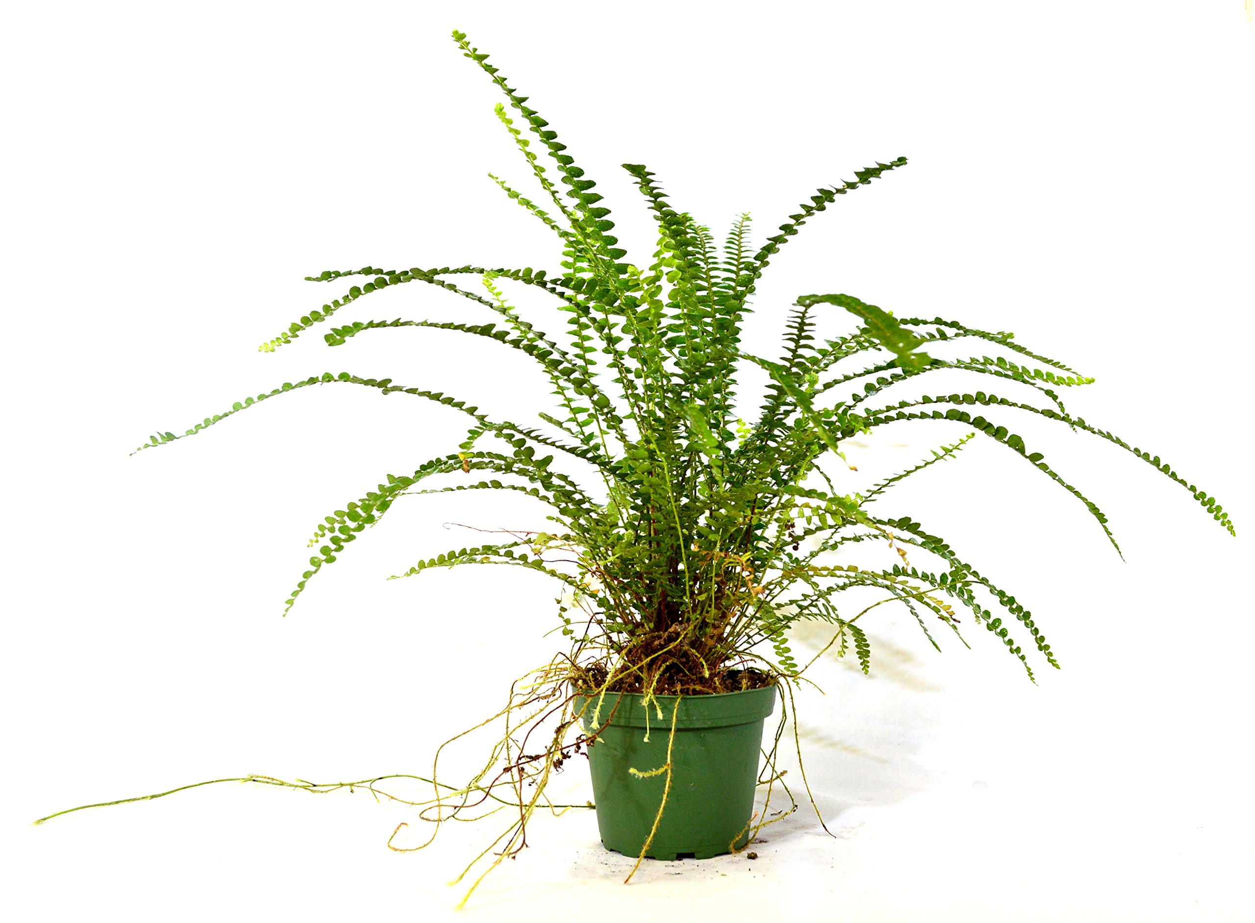 9GreenBox - Lemon Button Fern 4'' Pot - Nephrolepis cordifolia Duffii