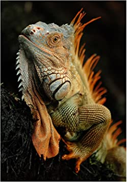 Photo Animal Iguana Lizard Reptile Scales Spines 12X16 Inch Framed Art Print