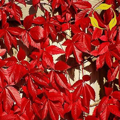 Virginia Creeper Parthenocissus Quinquefolia 20, 50, 100 Seeds : Garden & Outdoor