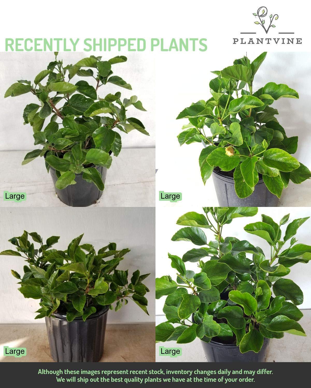 PlantVine Hibiscus rosa-sinensis 'Fiesta', Tropical Hibiscus - Large, Bush - 8-10 Inch Pot (3 Gallon), Live Plant by PlantVine (Image #4)