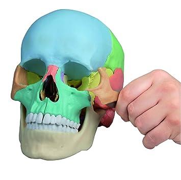 Osteopathie-Schädelmodell, 22-teilig, didaktische Ausführung: Amazon ...