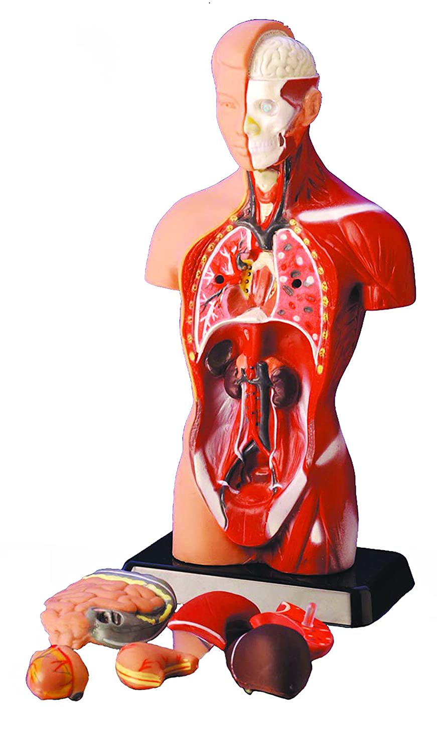human body torso 6 systems sexless