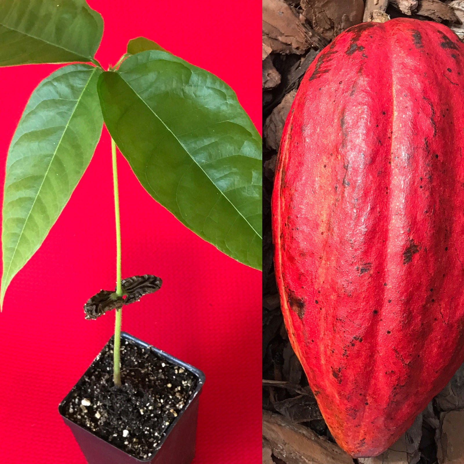 New and Healthy Red Theobroma Cacao Cocoa Chocolate Tropical Fruit Tree Potted Plant 10-13''