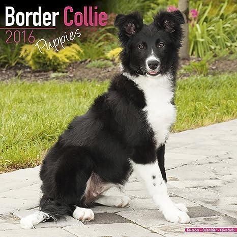 Border Collie Puppies Calendar