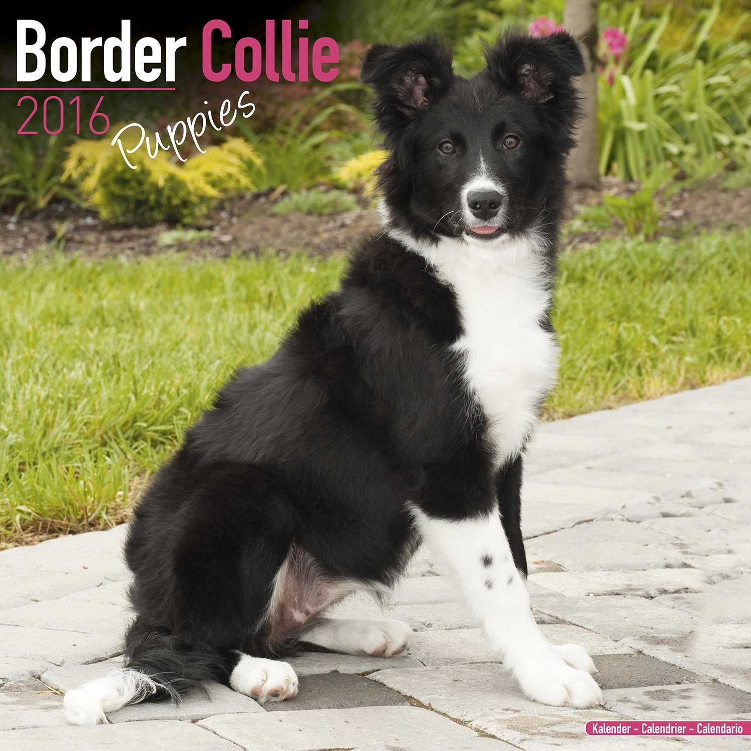 Border Collie Puppies Calendar Only Dog Breed Border Collie