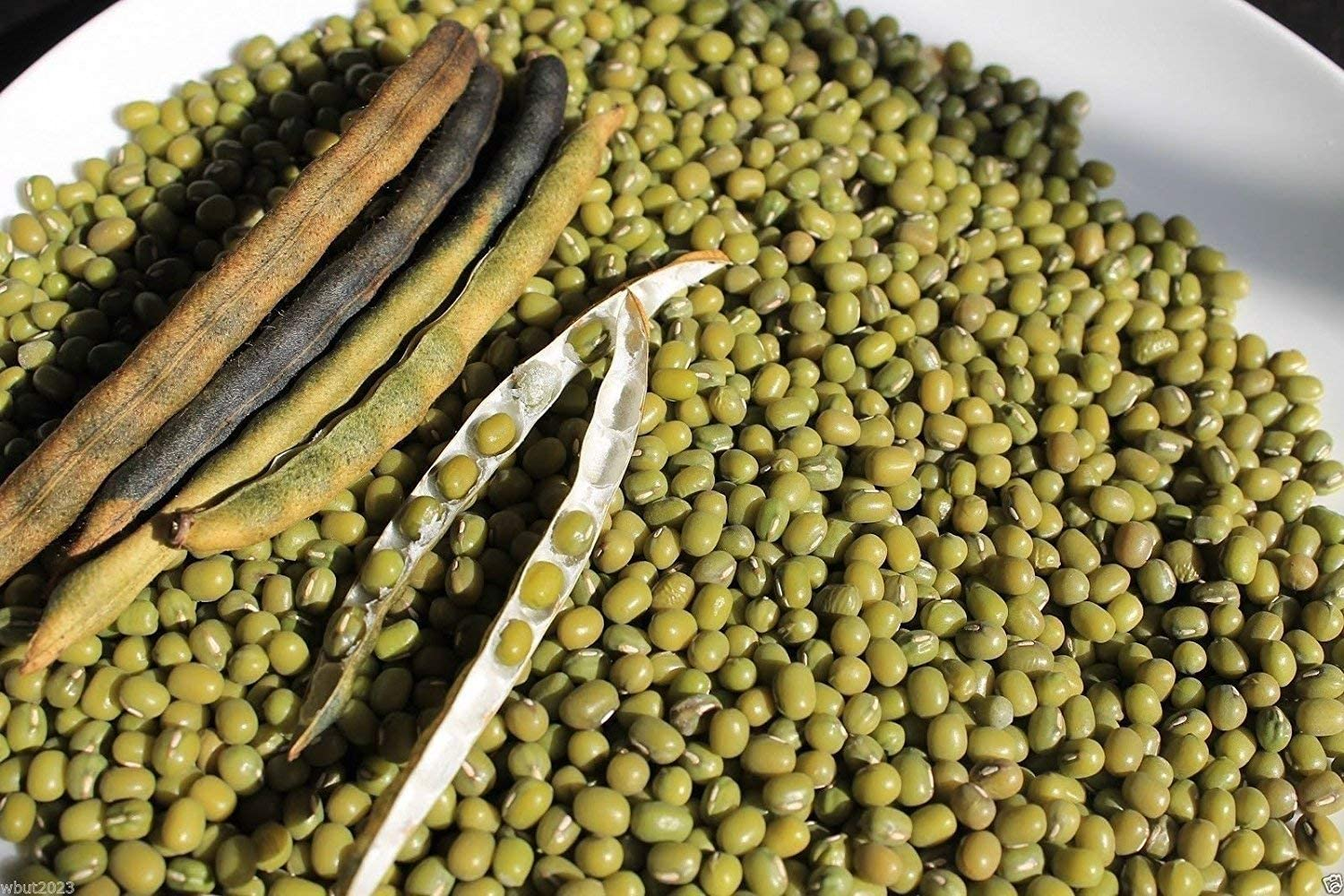 100 Seeds Organic Mung Bean (Green) Also Known As Chori, for Spouting,Food or Growing