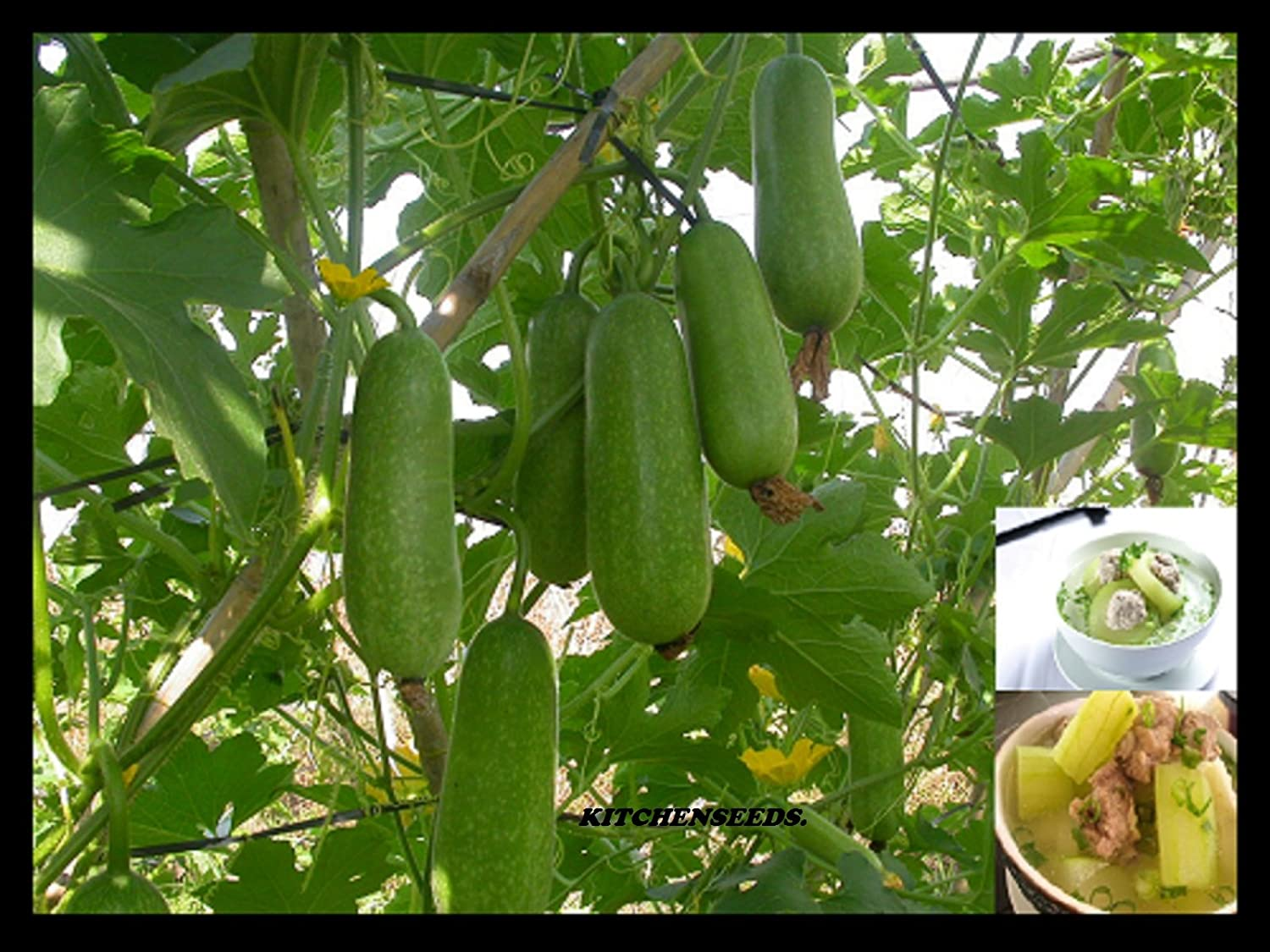(100) Hairy Gourd seeds,Winter Melon,fuzzy chinese Squash, Mao Gua (Bi Dao) seed by Kitchenseeds