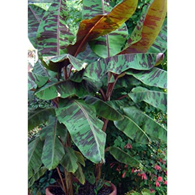 Hot - Blood Banana- Musa Zebrina Seeds Perennial - Green Leaves with Red Splotches : Garden & Outdoor