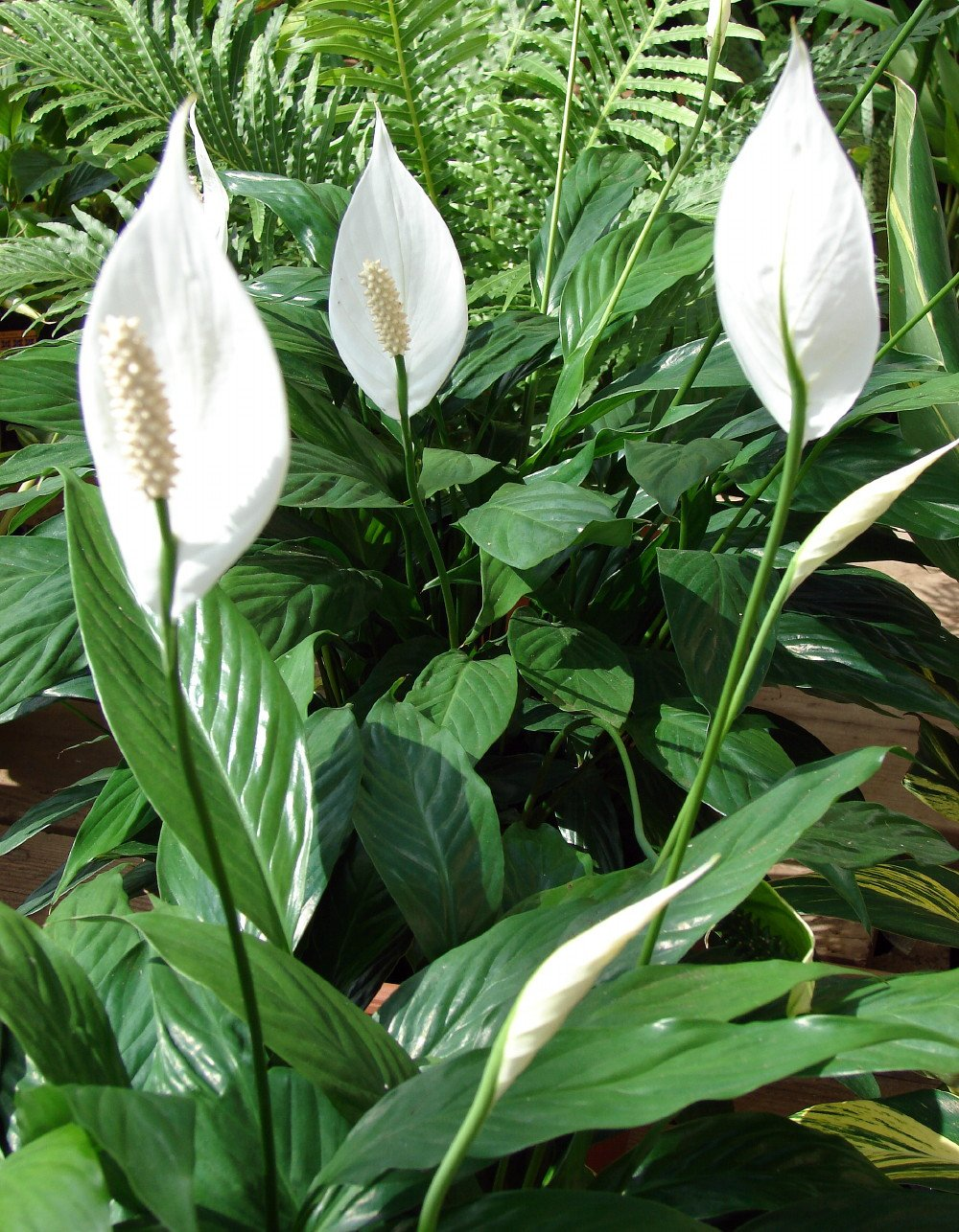 Amazon peace lily plant spathyphyllium great house plant amazon peace lily plant spathyphyllium great house plant 4 pot peace lilly patio lawn garden dhlflorist Gallery