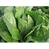 Parris Island Cos Organic Green Romaine Lettuce Seeds- 1,000+ Seeds by Ohio Heirloom Seeds