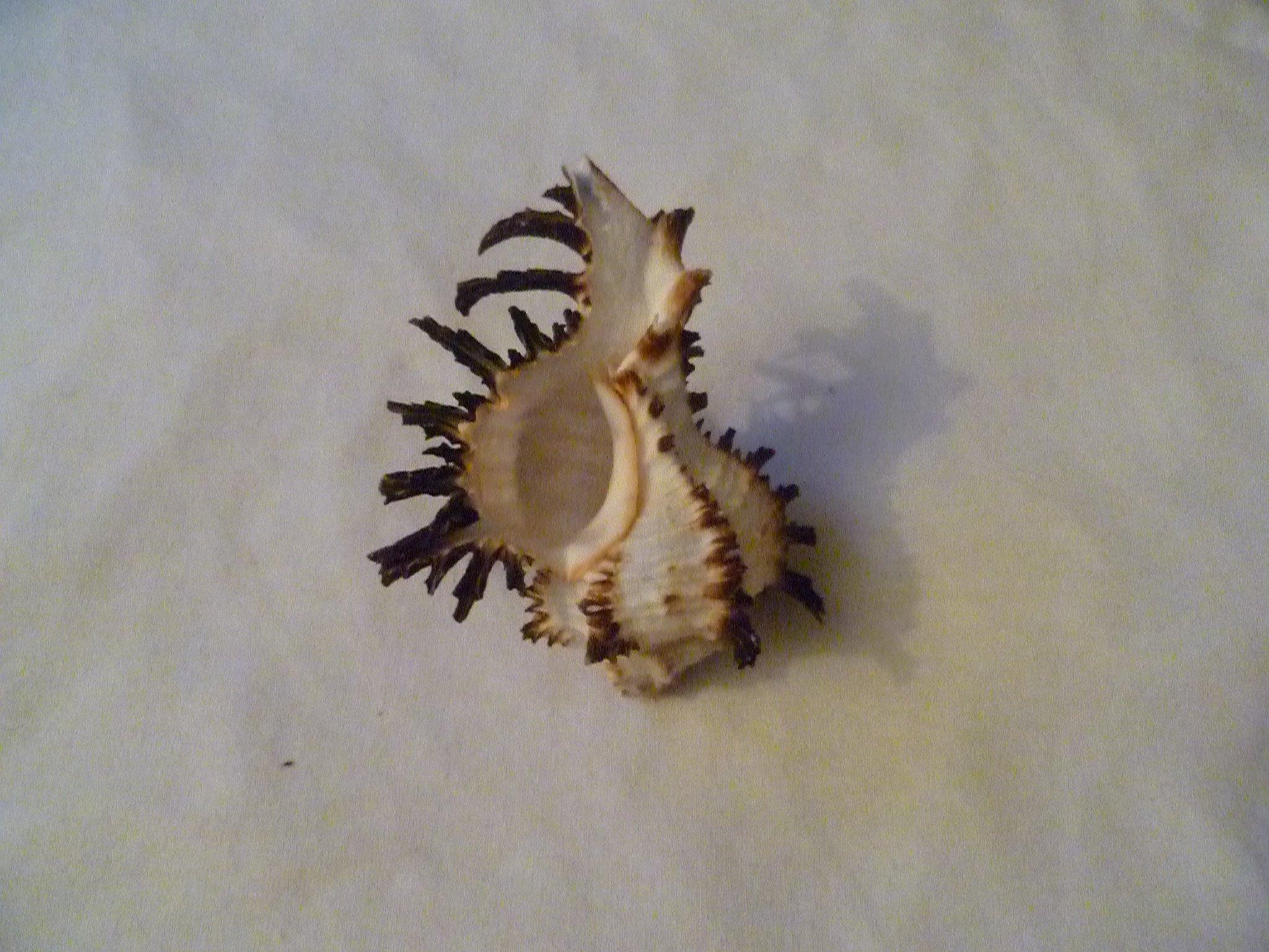 Spiney Murex Seashell