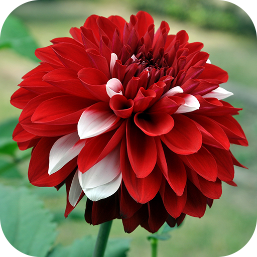 Dahlia Wallpapers