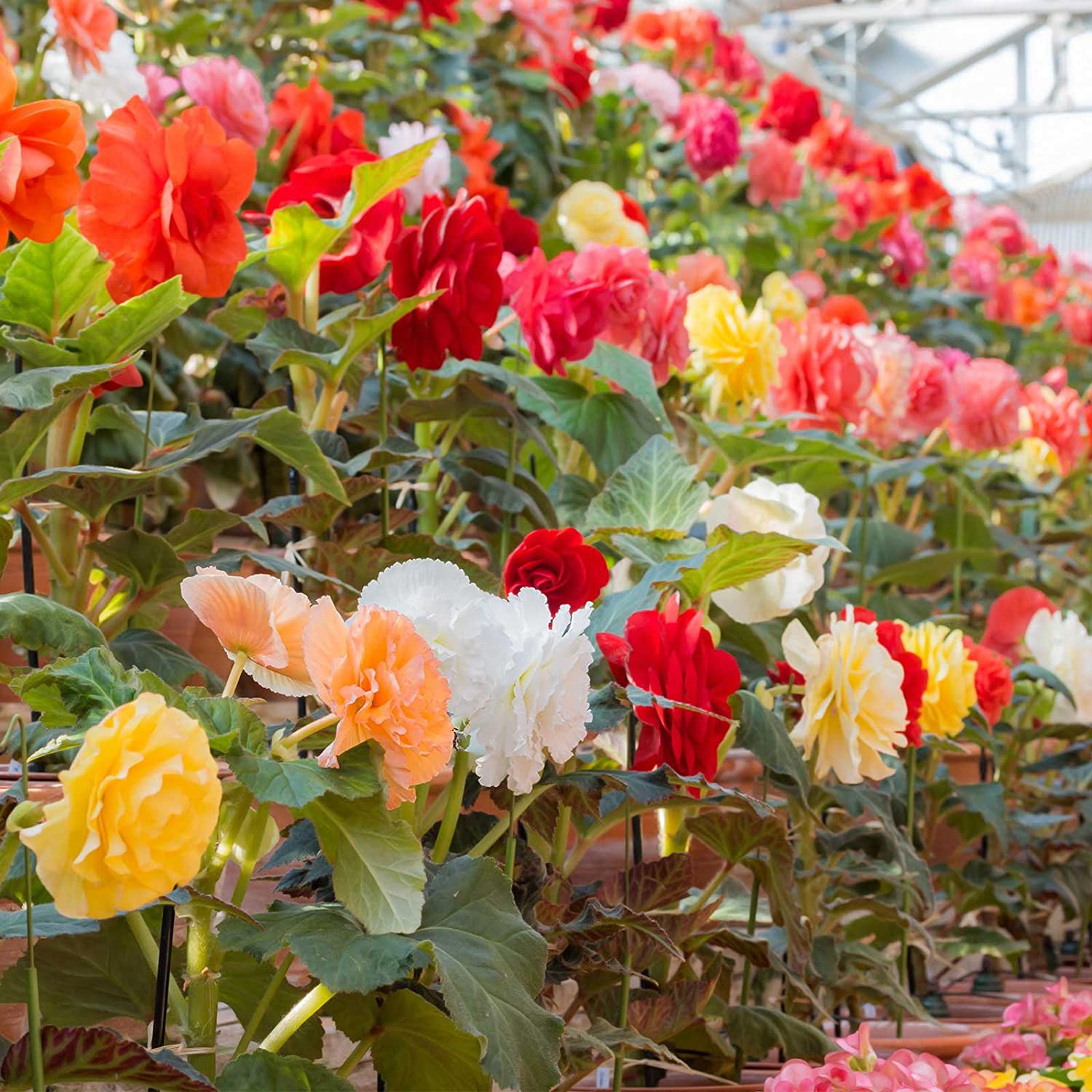 Tuberous Begonia Nonstop Series Plant Seeds (Pelleted): Mocha Mix - 100 Seeds - Annual Decorative Flower Plant, Houseplant
