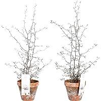 Setos y arbustos de Botanicly – 2 ×