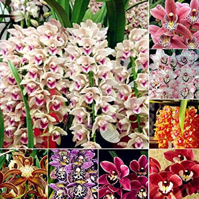 Gsdviyh36 100Pcs Cymbidium Orchid Seeds Flower Bonsai Plant Garden Office Balcony Decor, Non-GMO Seeds(100% Pure Live Seed) Cymbidium Seeds : Garden & Outdoor