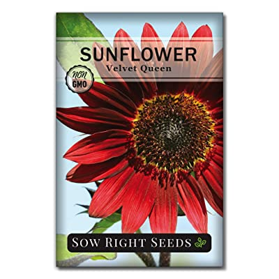 Sow Right Seeds - Velvet Queen Sunflower Seed for Planting- Full Packet with Instructions, Beautiful Non-GMO Heirloom Flower to Plant, Wonderful Gardening Gift (1 Packet) : Garden & Outdoor