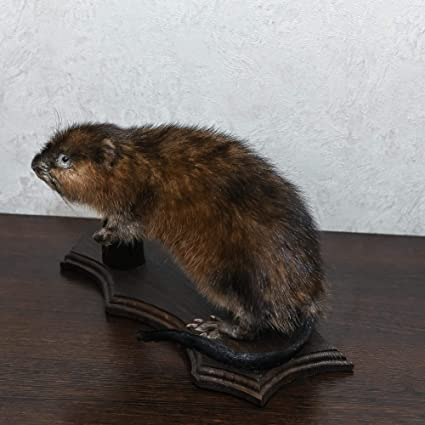 Small Beaver Taxidermy Mount - Mounted, Stuffed Animals for
