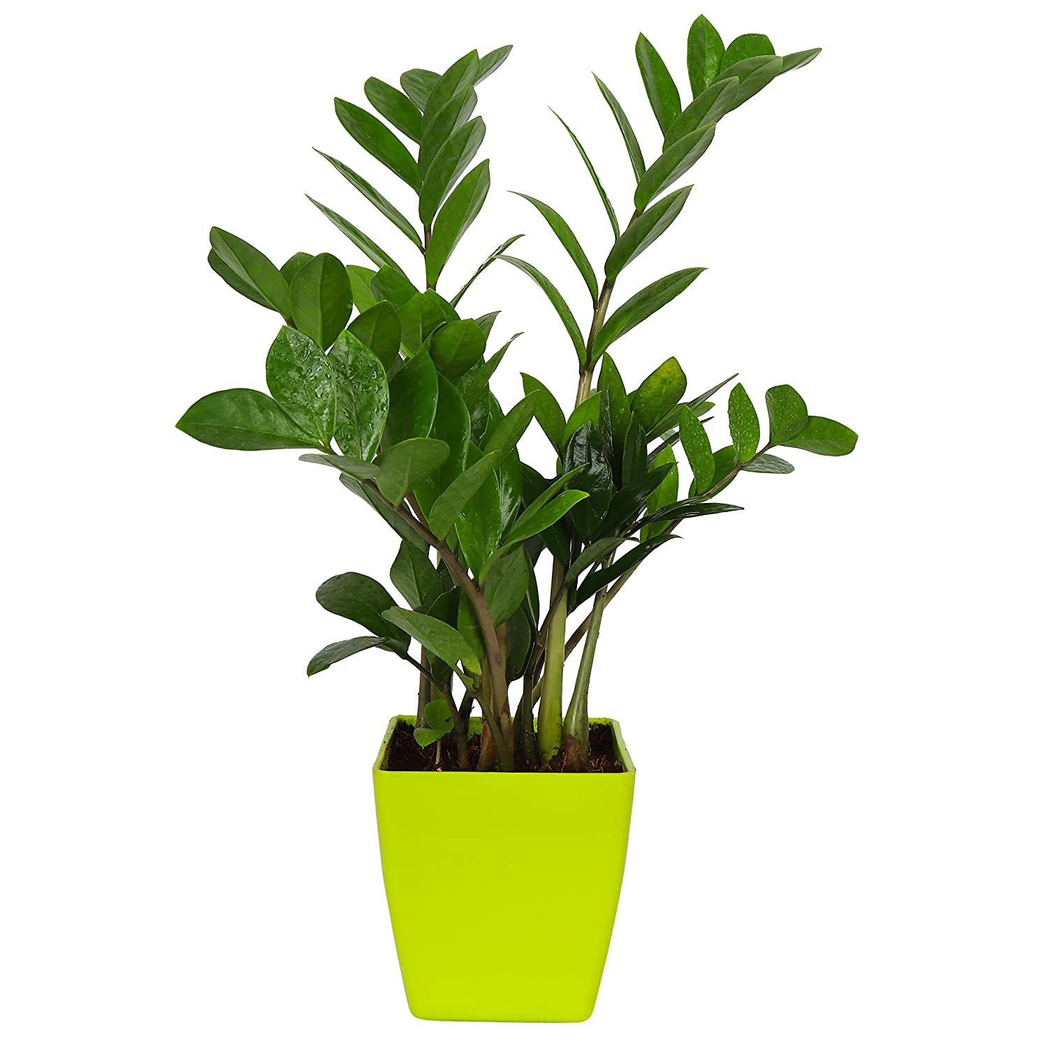Zaavic Zamia Plant in Yellow Plastic Pot for Decor, Green ... on zinnia house plant, olearia house plant, lantana house plant, amaranthus house plant, croton house plant, plumeria house plant, bamboo house plant, sansevieria house plant, aralia house plant, ficus house plant, magnolia house plant, iris house plant, camellia house plant, gardenia house plant, cyclamen house plant, alocasia house plant, sedum house plant, coleus house plant, ardisia house plant, acacia house plant,