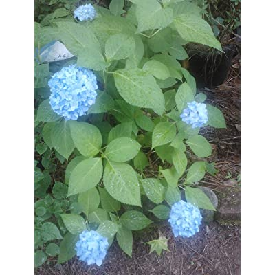 (3 Gallon) All Summer Beauty Hydrangea- Blooms All Summer Long, Because it Blooms on Both Old and New Wood, : Garden & Outdoor