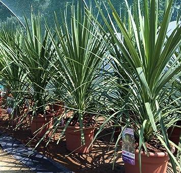 Cordyline Australis 3 litre pot Palm Like Tree Plant Free UK Postage