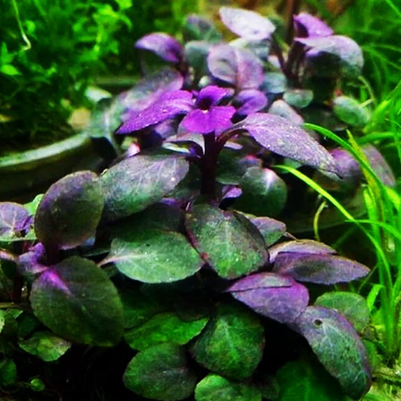 Amazoncom Lobelia Cardinalis Freshwater Live Aquarium Plants