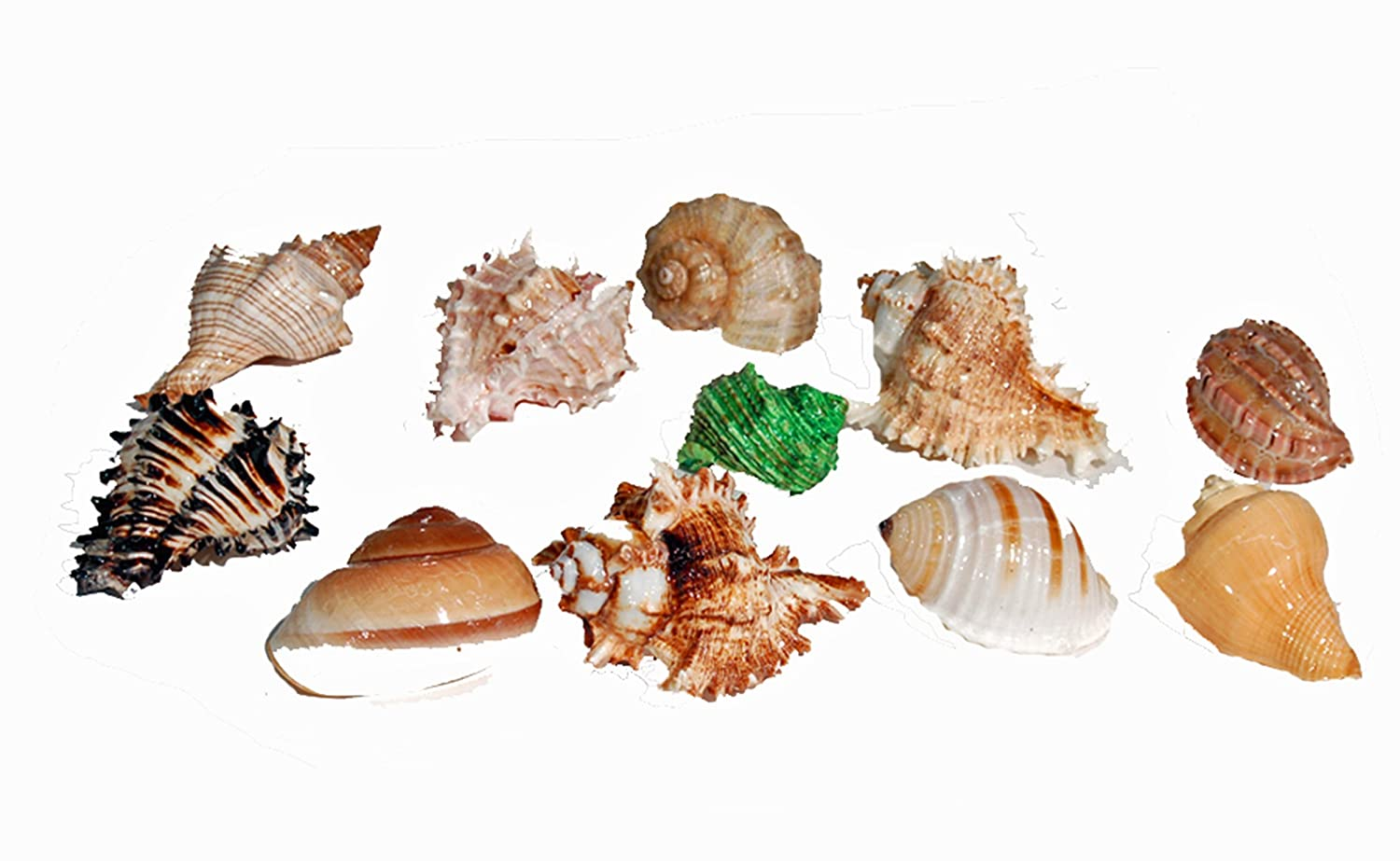 Amazon.com : Florida Marine Research SFM34332 12-Pack Hermit Crab Shell, Large : Pet Supplies