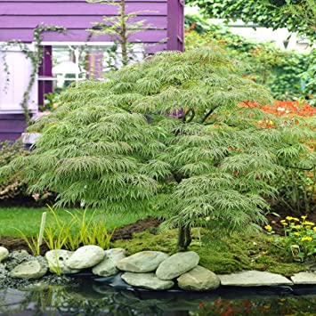 Acer Palmatum Dissectum 1 Tree Amazoncouk Garden Outdoors