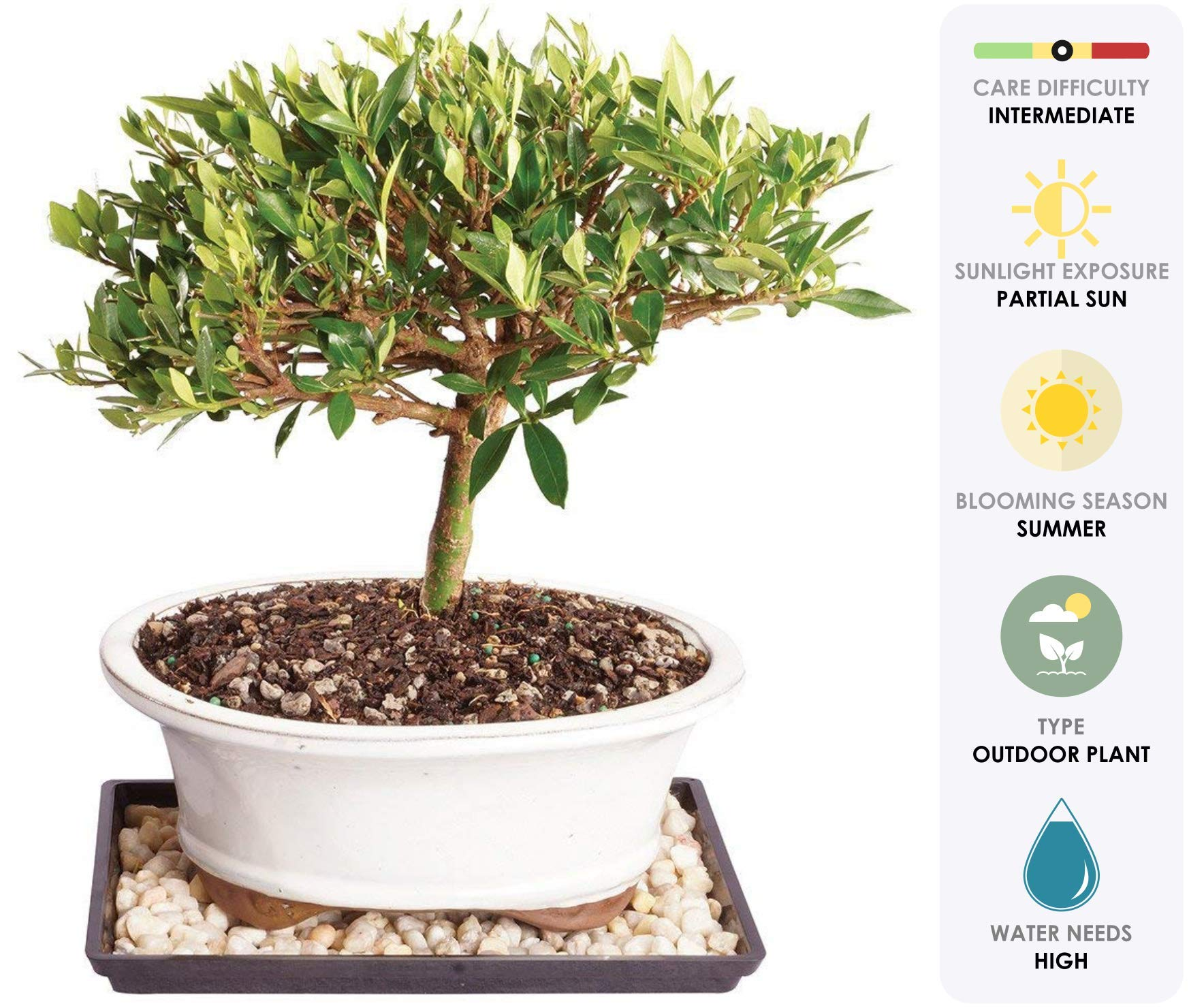 Brussel's Live Gardenia Outdoor Bonsai Tree - 8 Years Old; 8'' to 12'' Tall with Decorative Container, Humidity Tray & Deco Rock - Not Sold in Arizona by Brussel's Bonsai (Image #1)
