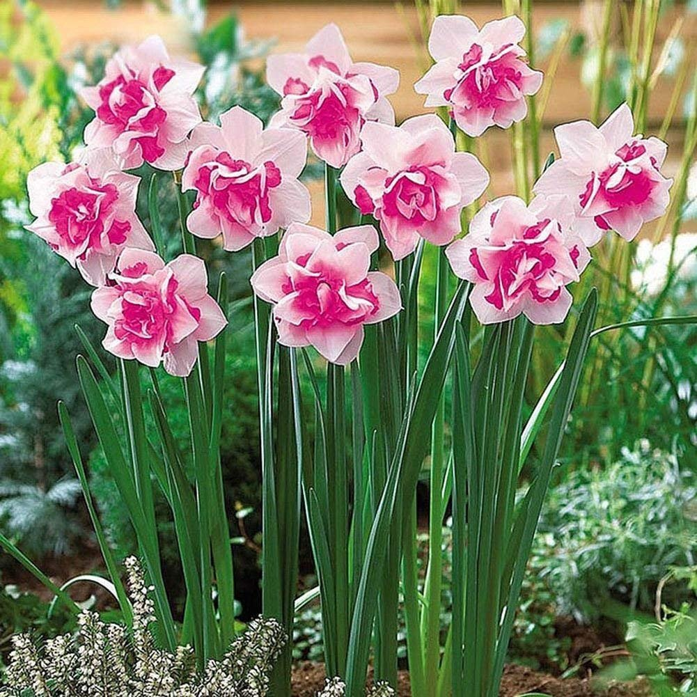 Large Pink Cupped Daffodil Fortune-15 Large Bulbs, Spring Flowering,Easy to Plant by SZDYSD