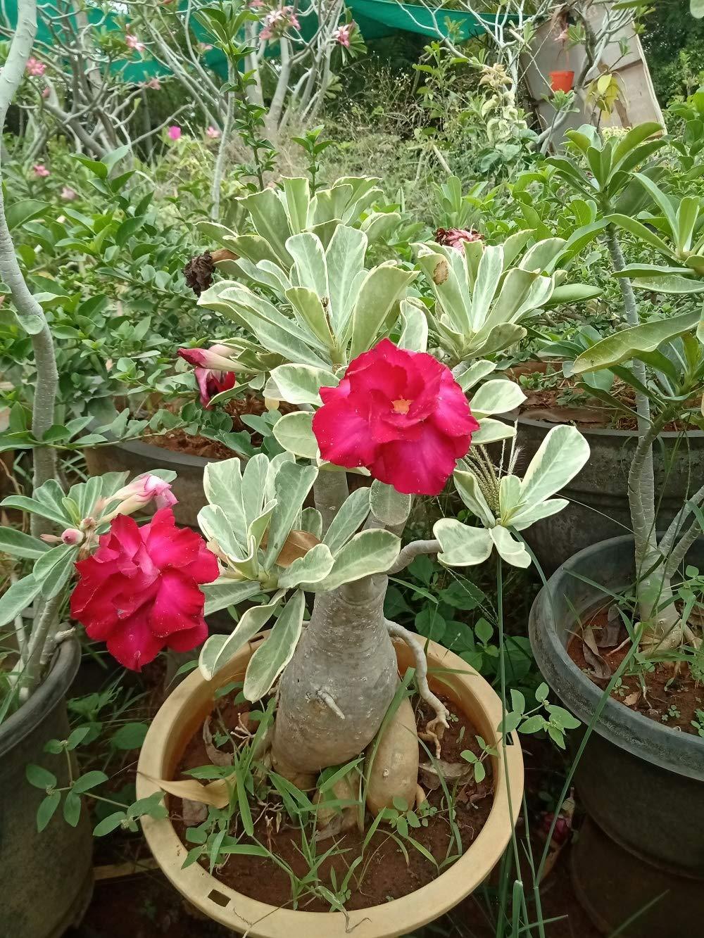 Zooqa Farm Bonsai Adenium Plant Amazon In Garden Outdoors