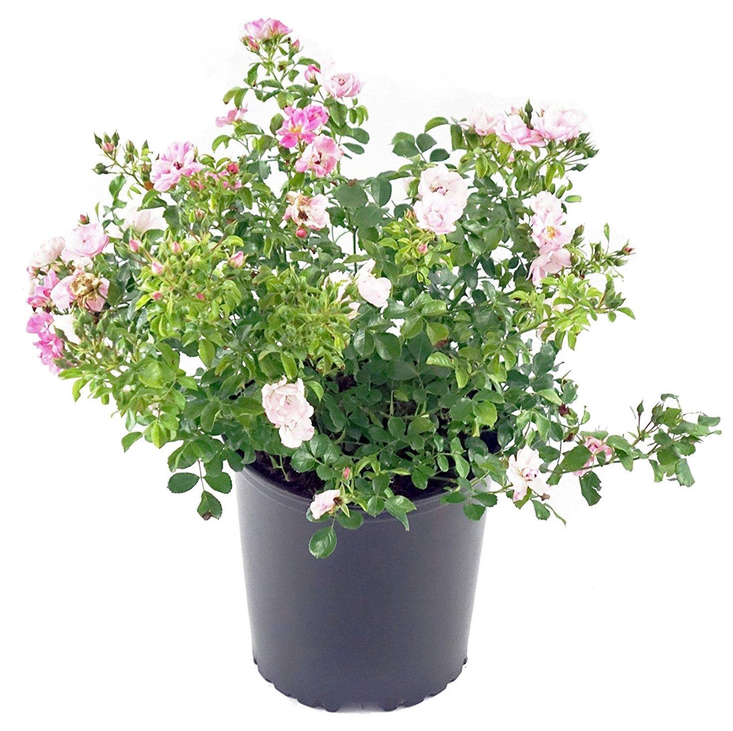 Amazon Com Flower Carpet Roses Rosa Appleblossom Rose Rose