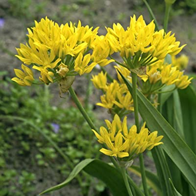 10 Allium moly Bulbs, also known as golden garlic and lily leek Bulbs,Perennial in Zones: Kitchen & Dining
