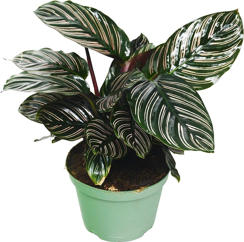 Amazon Com Calathea Ornata Plant 6 Pot Live Houseplant