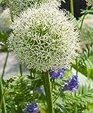 Aglio gigante BIANCO (Allium Giganteum) - 30 semi / pacco - aglio decorativo, grandi dimensioni