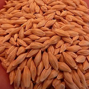 Organic Common Grain Barley - 25 LB Bulk ~200,000 Seeds - Organic, Non-GMO, Open Pollinated Grain Seeds - Hordeum vulgare