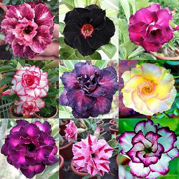 Rare Exotic Desert Rose, Adenium Mixed Colors 10 Fresh Seeds From Canada