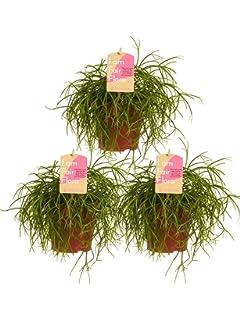 BOTANICLYIndoor plant 50 cmSanseveria Zeylanica Snake plantHeight