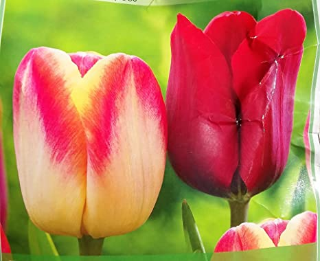 Amazon 50 Large Bulbs Mix Of Late Spring Single Tulip Candy