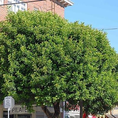 Carob Ceratonia Siliqua 5 Seeds : Garden & Outdoor